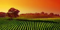 Sunrise over vineyard in the Adelaide Hills